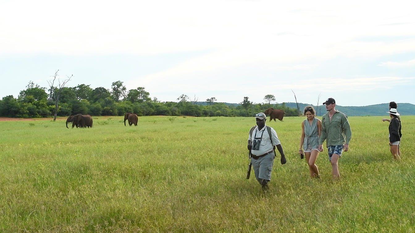 guide leading walking safari past elephants in green field