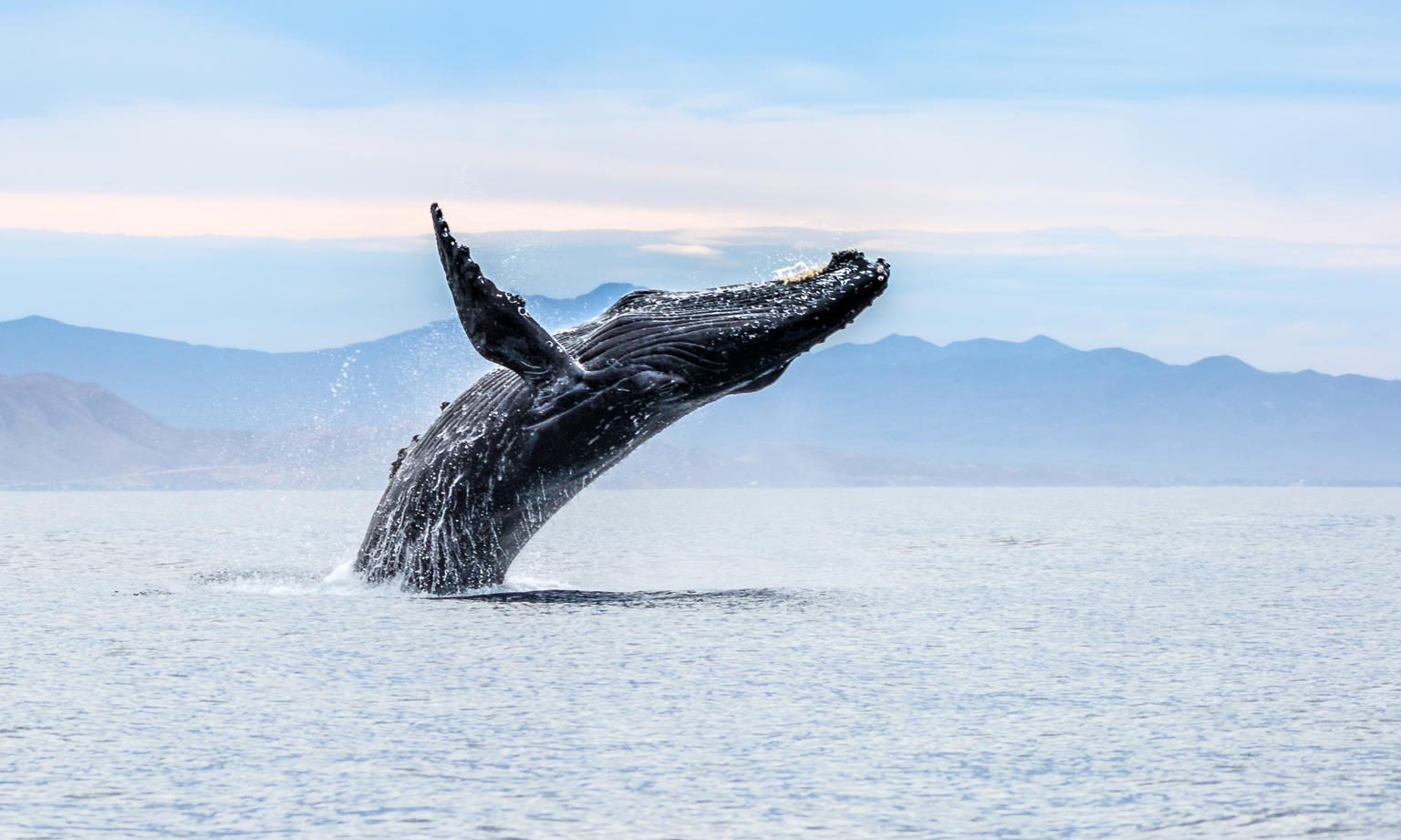 humpback whale breaching out of the ocean with mountains in the background