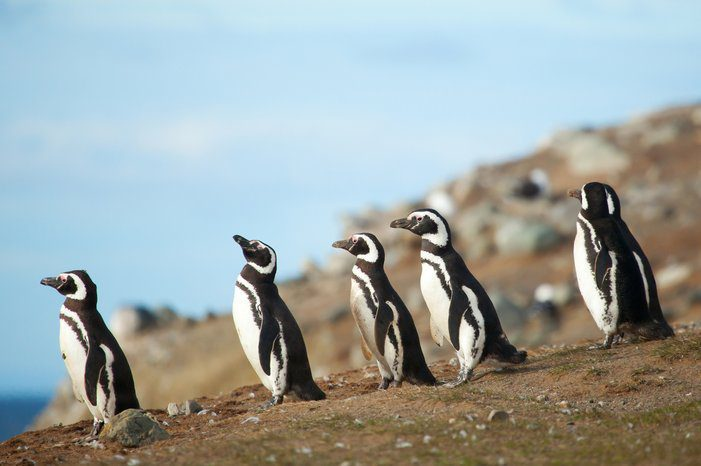 penguins walking in the dirt on this Chile tour