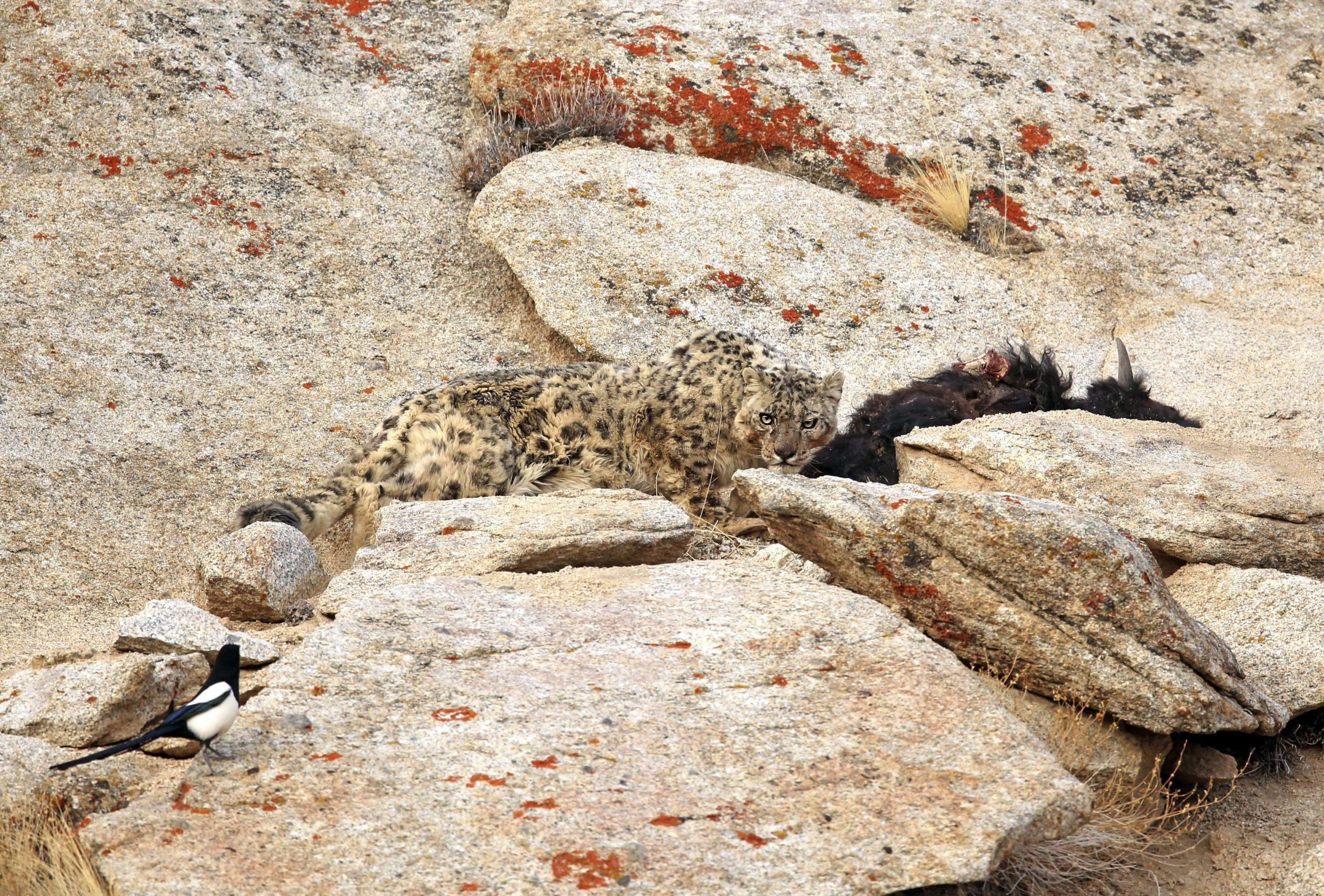snow leopard stalking something along the rocks seen on an Indian Subcontinent safari