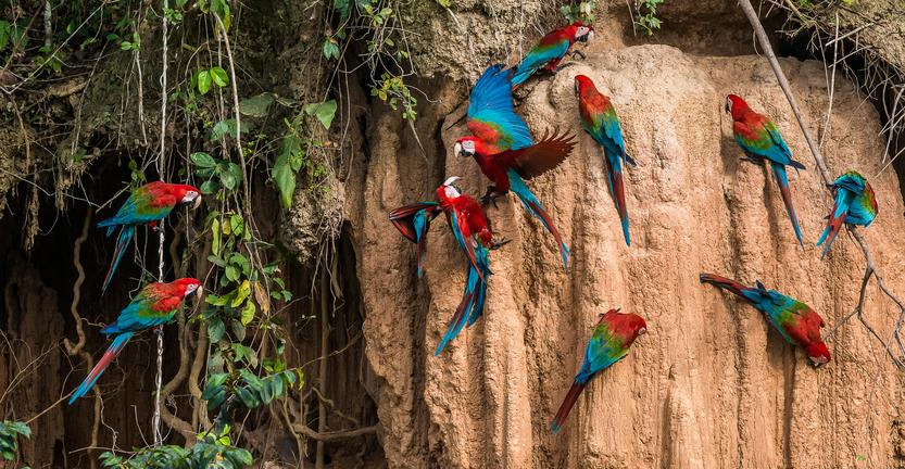 A bunch of brightly colored parrots line a wall in the amazon