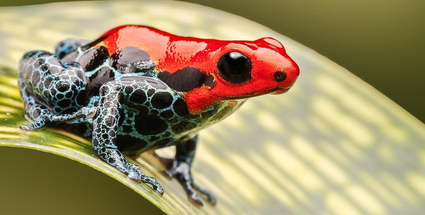 bright red and black and blue frog sitting on a leaf