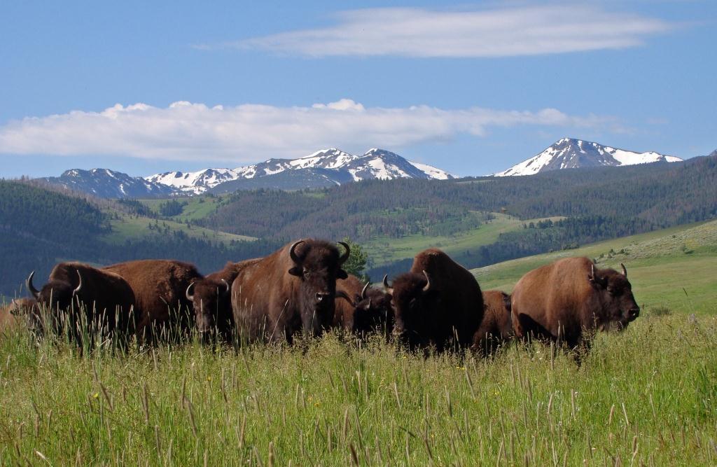 vermejo bison new mexico
