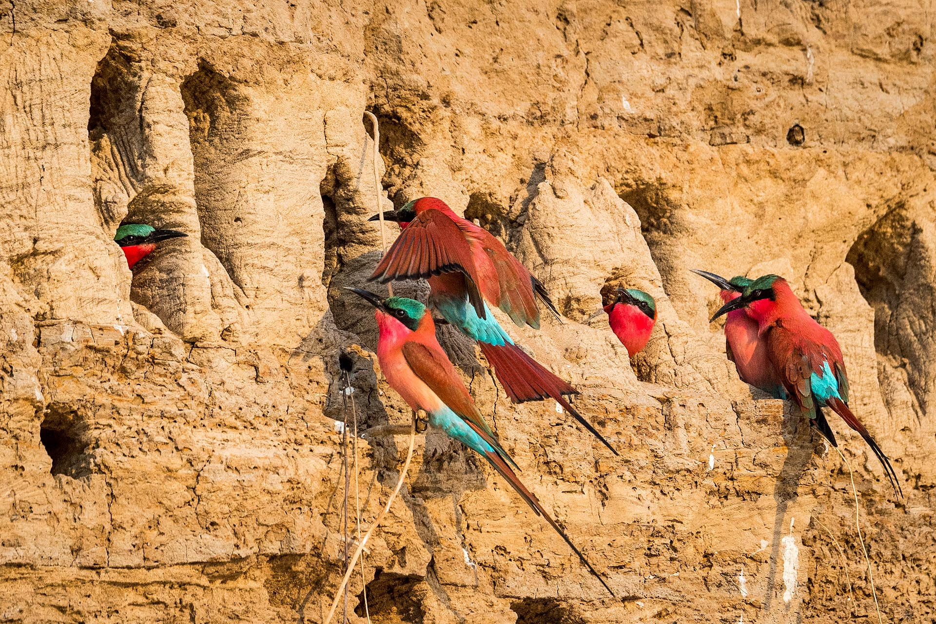 nest of southern carmine bee eaters in South Luangwa