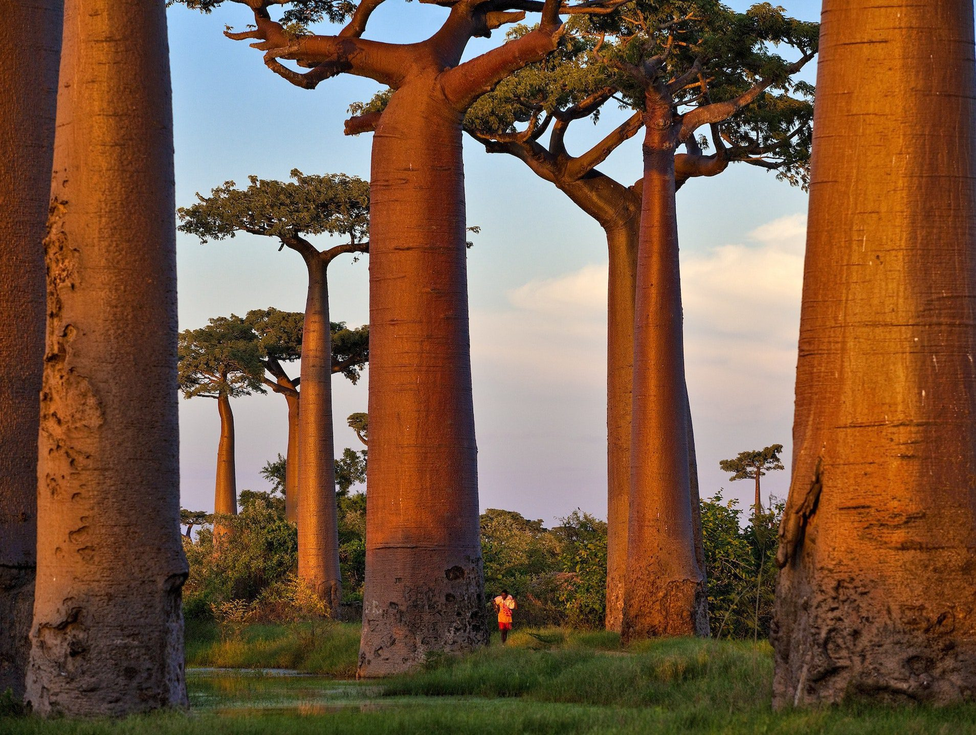 looming baobab trees dwarf a small person in the landscape