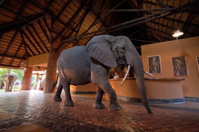 large elephant walking through Mfuwe Loge in Zambia