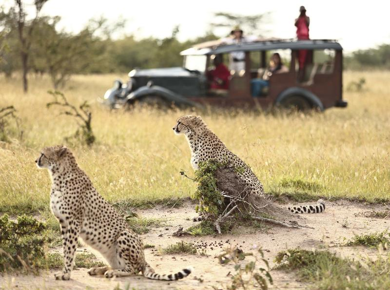 a vintage game drive vehicle with passengers stops to look at two cheetah