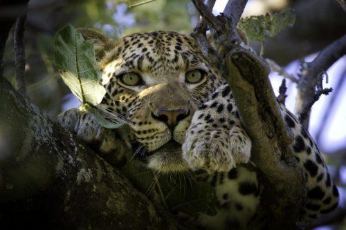 vumbura_plains_tree_leopard