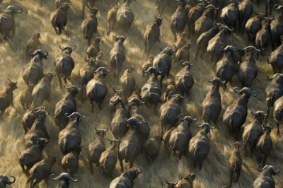 busanga_wildebeest_aerial