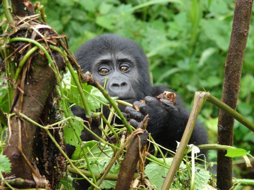 baby gorilla clouds mountain lodge seen on extraordinary Uganda safari