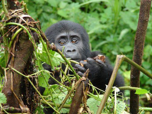 baby gorilla clouds mountain lodge seen on extraordinary Uganda safari