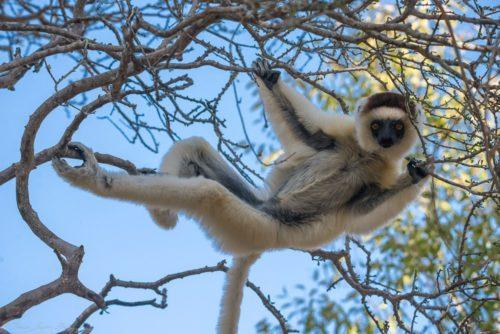Lemur hanging in tree at Mandrare River Camp