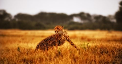 Cheetah at African Bushcamps