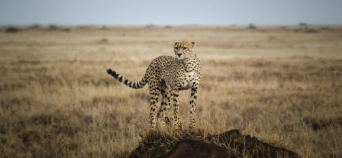 solo cheetah on the lookout in a grassy plain of the Serengeti