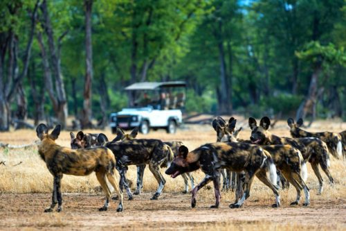 pack of wild dogs looking at a game drive vehicle in mana pools