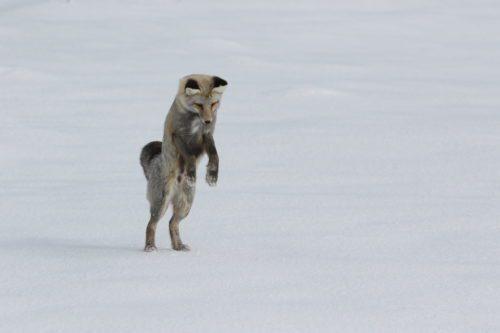 Yellowstone NP, Wildlife Viewing Red Fox