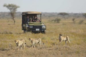 three cheetah walking in front of a safari vehicle in an open plain in the Serengeti on Tanzania big game safari