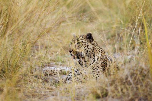 leopard lounging in the tall grass in the okavango delta