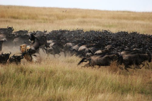 Migration Mara plains