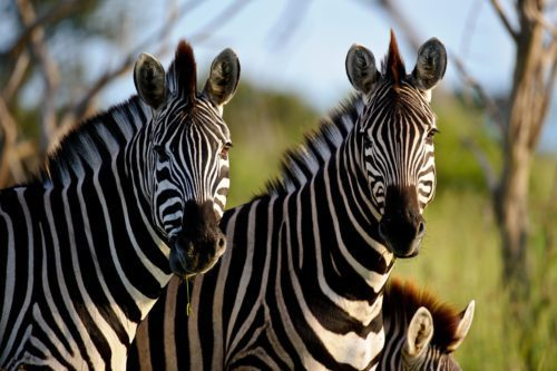 Chitabe Camp Botswana Okavango Delta two Zebra up close