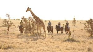 four riders traveling on horseback stop to look at a giraffe walking very close to them to reach a tree with leaves
