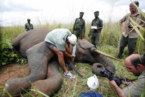 elephant-collaring_nuria-ortega_garamba