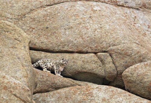 snow leopard walking along rocks