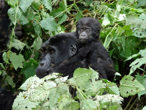 baby gorilla on a piggyback ride on its mother in the thick green forest