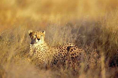 Cheetah in the golden grass at Okonjima